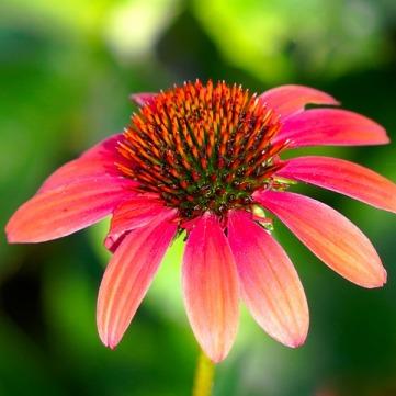 echinacea-4383860_640